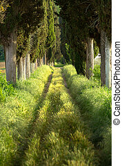 Tree lined footpath - Footpath lined with cypress trees