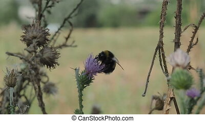 Bumble bee collects pollen and nectar from flowers of...