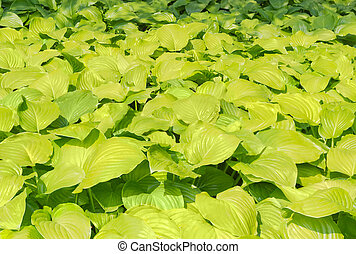 Background of a hosta leafage - Background of a leafage...