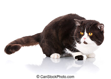 big black and white cat Scottish Straight lying is looking...