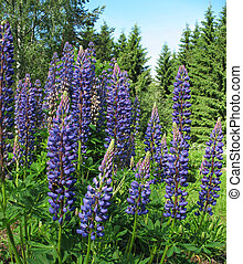 Lupin Lupinus, family Fabaceae, in the garden