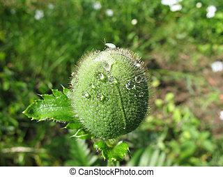 Oriental poppy bud