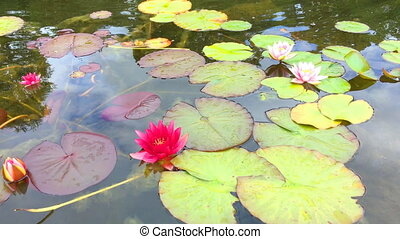 Water liles in a pond - Colorful water liles in a pond