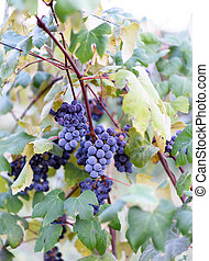 Grape vines at harvest time in Mold
