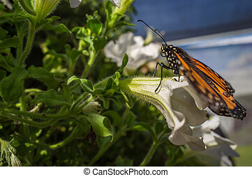 Closeup Monarch Butterfly - Close up monarch butterfly with...