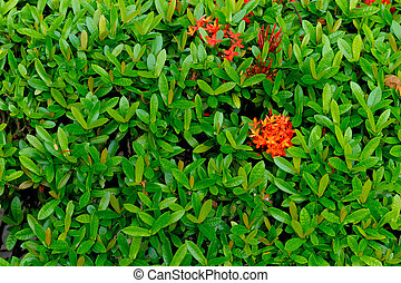red flower spike, Rubiaceae flower with green leaves background