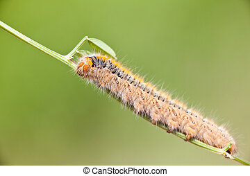 Grass Eggar Caterpillar eating on a small branch
