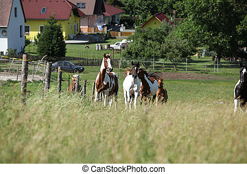 Batch of horses running on pasturage - Batch of horses...