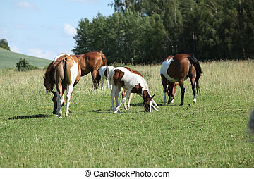 Batch of paint horses on pasturage - Batch of paint horses...