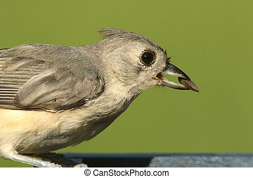 Tufted Titmouse (baeolophus bicolor) on a feeder with a...