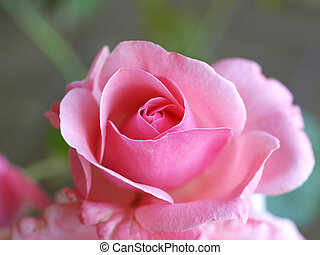 Rose - A Rose - perennial flower shrub vine of genus Rosa...