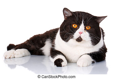 big black and white cat Scottish Straight lying, is looking...