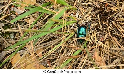 Geotrupidae. Greenish dor beetle crawls on soil in forest...