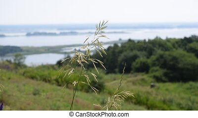 Meadow grass panicle on background of river Dnepr panorama....