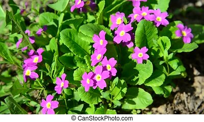 Violet in  flowerbed outside in  spring