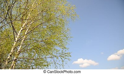 Branches of the young birch trees swaying in  wind