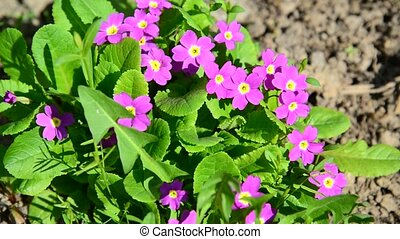 Violet in flowerbed outside in spring - Violet in the...