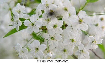 bumble bee pollinating cherry blossoms - bumble bee...