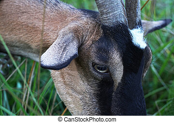 Goat head close-up - Eye of a goat chewing green grass...