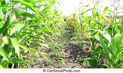 Girl running in maize - Little girl in trousers and shirt...