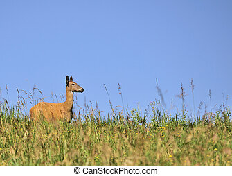 Whitetail Deer Doe - Whitetail deer doe standing on a grassy...