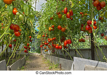 Ripe tomatoes in the greenhouse - Ripe red tomatoes in a...