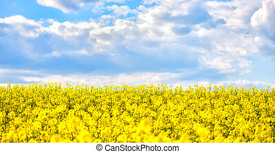 golden field of flowering rapeseed with beautiful clouds on...