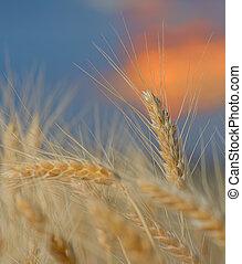Wheat field. Ears of golden wheat close up. Beautiful Nature Sunset