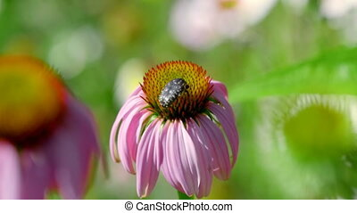 Beetle on a Echinacea flower