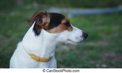 Cute Jack Russell Terrier dog looking in the camera