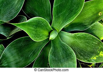 agave, Attenuata