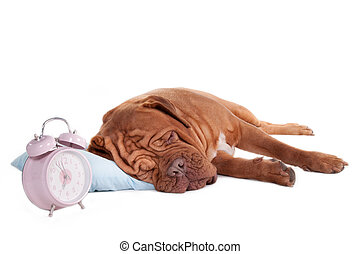 Dogue on a pillow - sleeping dogue de bordeaux on a pillow...