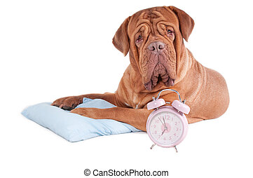 Is it 7 o\'clock already? - Adult dogue de bordeaux had just...