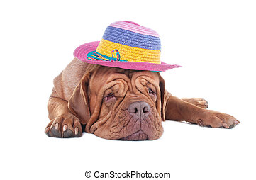 Dogue de bordeaux with summer hat - Dogue dreaming of summer...