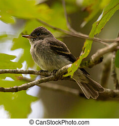 Juvenile Eastern Wood Pewee (Contopus virens) perched on a...