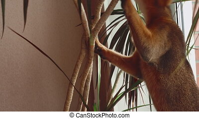Abyssinian kitten playing with a Dracaena leaves