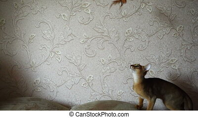 Abyssinian kitten playing with a toy fish on a string, slow...