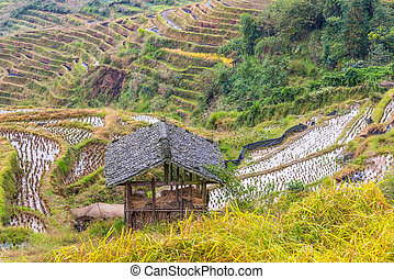Chinese rice fields in cloudy weather. Hut in the...