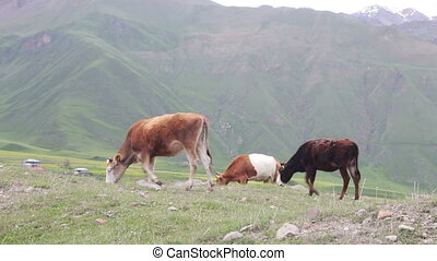 Cows Grazing on a Mountain Pasture Cows grazing grass on hot...
