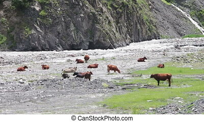 Cows Graze in the Mountains near the Mountain Stream. Cows...