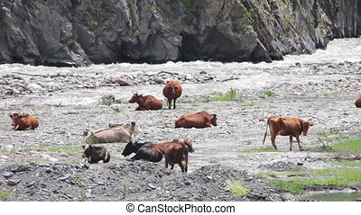 Cow Grazing On Mountain Pasture near the Mountain Stream -...