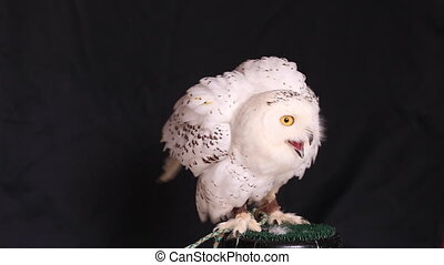 Snowy owl is a large diurnal Owl