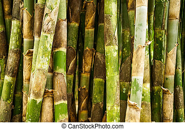Bamboo forrest close up, Fence of stalks growing close