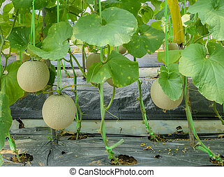 Melon fruit on its tree - Melon or Cantaloupe (Honeydew)...