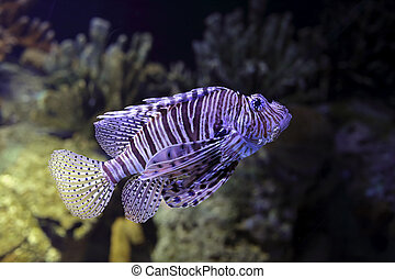 Lionfish closeup - Lion fish closeup Aquarium photo High ISO...