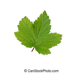Currant leaf. - Blackcurrant leaf on a white background is...