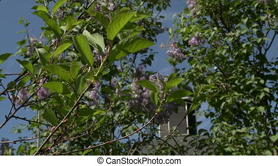 Dome of church and lilac bush on sky background - Dome of...