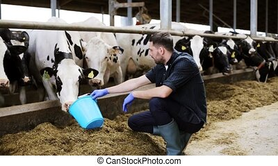 man feeding cows with hay in cowshed on dairy farm -...