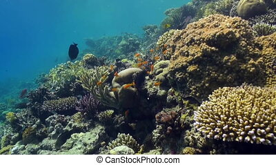 Underwater landscape of coral reef. Red Sea. - Underwater...