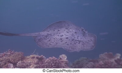 Black blotched stingray hunting on reef.